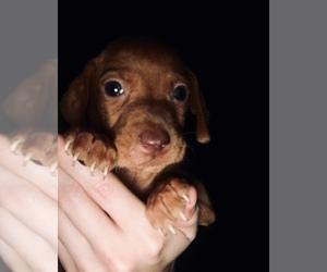 Vizsla Puppy for sale in MATTAPOISETT, MA, USA
