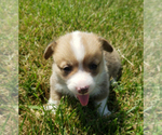 Puppy 5 Pembroke Welsh Corgi