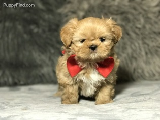 Shih Tzu Puppy For Sale in GREAT RIVER, NY