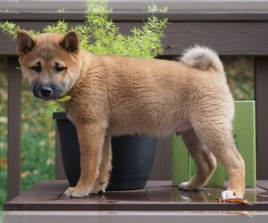 Shiba Inu Puppy for sale in FREDERICKSBG, OH, USA