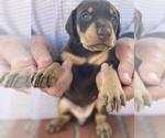 Puppy 1 Doberman Pinscher