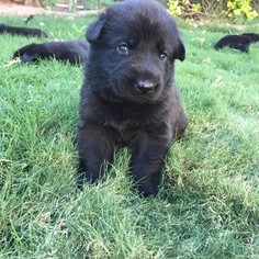German Shepherd Dog Puppy For Sale in EL PASO, TX, USA