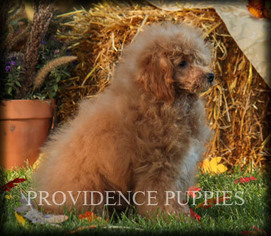 Poodle (Miniature) Puppy for sale in COPPOCK, IA, USA