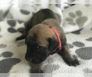 Mastiff Puppy for sale in NORTH VERNON, IN, USA