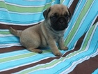 AKC Snickers Litter 2 left