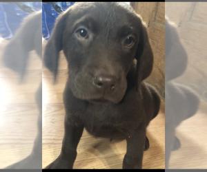 Labrador Retriever Puppy for sale in MIFFLINTOWN, PA, USA