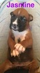 Boxer Puppy For Sale in INDIANAPOLIS, IN