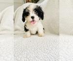 Puppy 2 Cava-Tzu