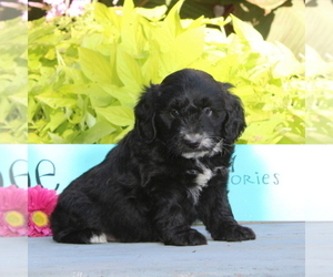 Australian Shepherd-Poodle (Miniature) Mix Puppy for sale in HOLTWOOD, PA, USA