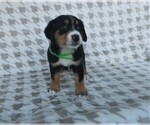 Puppy 10 Greater Swiss Mountain Dog