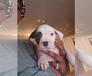 American Pit Bull Terrier Puppy for sale in BALTIMORE, MD, USA