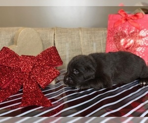 Newfoundland Puppy For Sale in LOUISVILLE, KY, USA