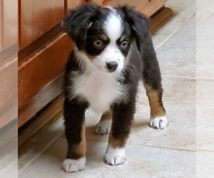 Australian Shepherd Puppy for sale in STAFFORD, VA, USA