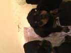 Rottweiler Puppy For Sale in MARQUAND, MO, USA