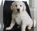 Small English Cream Golden Retriever