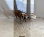 Image preview for Ad Listing. Nickname: English Bulldog