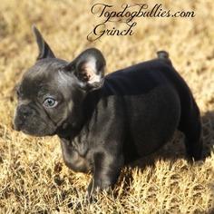 Blue Tri French Bulldog male