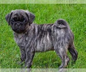 Pug Puppy for Sale in NEW CASTLE, Indiana USA
