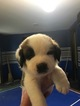 Saint Bernard Puppy For Sale in MECHANICSVILLE, VA, USA