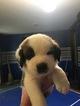 Saint Bernard Puppy For Sale in MECHANICSVILLE, VA,