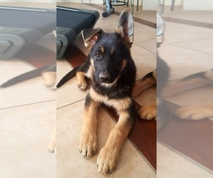 German Shepherd Dog Puppy for sale in HESPERIA, CA, USA