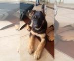 German Shepherd Dog Puppy For Sale near 92344, Hesperia, CA, USA