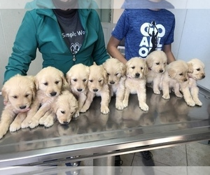 Golden Retriever Puppy for Sale in WILLOW SPRINGS, Missouri USA