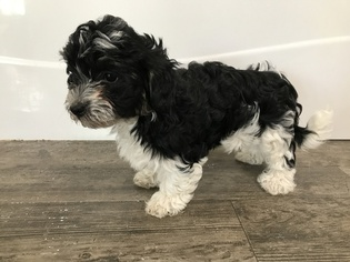 Havanese Puppy For Sale in ALBION, IN, USA