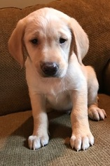 Golden Labrador Puppy For Sale in FORT CALHOUN, NE