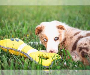 Border Collie Puppy for Sale in STRAFFORD, Missouri USA