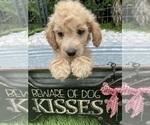 Puppy 2 Goldendoodle (Miniature)
