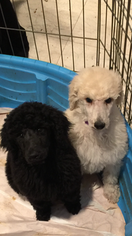Poodle (Standard) Puppy For Sale in DALLAS, TX