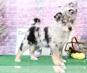 Pomsky Puppy for sale in BEL AIR, MD, USA