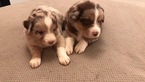 Miniature Australian Shepherd Puppy For Sale in SIDNEY CENTER, New York,