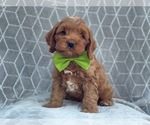Small #8 Cocker Spaniel-Poodle (Miniature) Mix