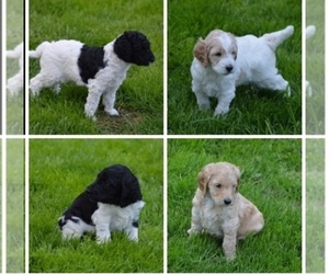 Goldendoodle Puppy for Sale in SEWICKLEY, Pennsylvania USA