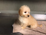 Goldendoodle-Poodle (Miniature) Mix Puppy For Sale in IVANHOE, TX, USA
