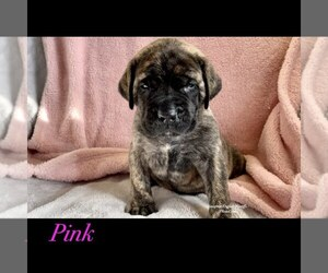 Mastiff Puppy for sale in GALLOWAY, OH, USA