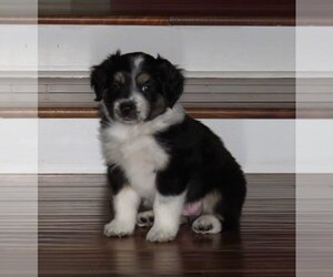 Australian Shepherd Puppy for sale in KENNEWICK, WA, USA