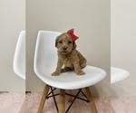 Puppy 3 Australian Labradoodle