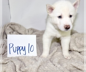 Siberian Husky Puppy for Sale in HESPERIA, California USA