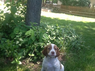 Brittany Puppy for sale in BALLWIN, MO, USA