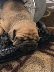 French Bulldog Puppy For Sale in SPARKS, NV, USA