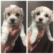 Poochon Puppy For Sale in GOOSE CREEK, SC