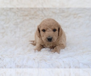 F2 Aussiedoodle Puppy for Sale in NORTH VERNON, Indiana USA