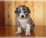 Puppy 1 Aussie-Poo