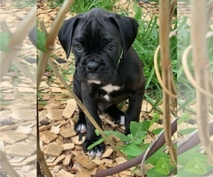 Boxer Puppy for Sale in SIOUX FALLS, South Dakota USA