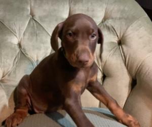 Doberman Pinscher Dog for Adoption in BRISTOL, Connecticut USA