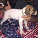 Great Dane Puppy For Sale in NEENAH, WI