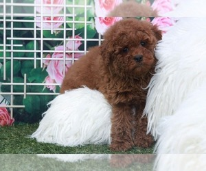 Goldendoodle Puppy for sale in MARIETTA, GA, USA